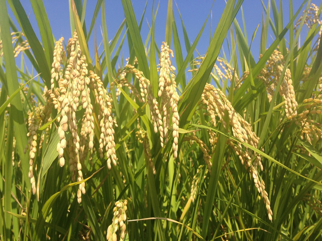 10 Important Reasons Why Agriculture Needs Biotech Crops