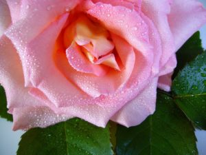 rose with raindrop